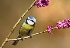 Bluetit Royalty Free Stock Photo