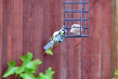 Bluetit bird hanging on a birdfeeder. In a garden in England Royalty Free Stock Image