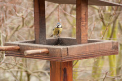 Bluetit on Bird Table Stock Images