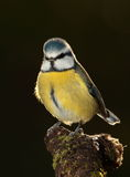 Bluetit bird. Royalty Free Stock Photos