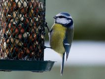 Bluetit on birdfeeder Stock Photos