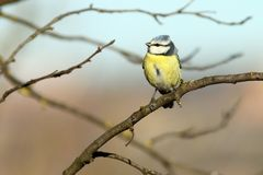 Bluetit in boom wordt neergestreken die Stock Foto