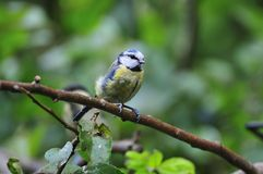 Bluetit on a branch. Stock Photos