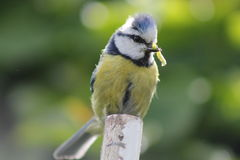 Bluetit with caterpillar. Male bluetit with caterpillar for the chicks in the nest Royalty Free Stock Image