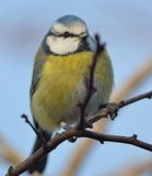 BlueTit Denmark Royalty Free Stock Images