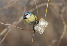 Bluetit and fat Royalty Free Stock Image