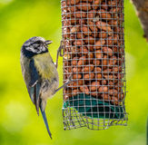 Bluetit on feeder Royalty Free Stock Photos