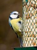 Bluetit on feeder Stock Photography