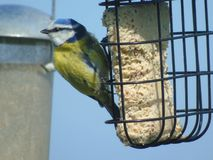 Bluetit Feeding stock images