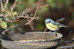 Bluetit on feeding station Stock Images