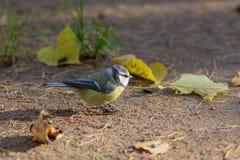 Bluetit on the ground. With fallen autumn leaves Stock Photo