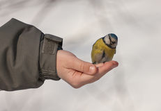 Bluetit on a hand Royalty Free Stock Image