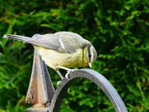 Bluetit on a hoop stock images