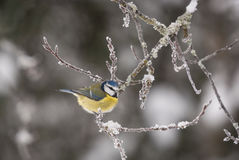 Bluetit. A landscape image of a Bluetit, Cyanistes caeruleus, on a frozen tree branch dusted with snow Stock Images