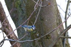 Bluetit laterally. On a twig Stock Images