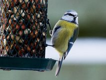 Bluetit looking at the photographer Royalty Free Stock Images