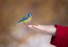 The bluetit on a palm Stock Photo