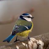 Bluetit (Parus caeruleus) Stock Image