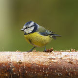 Bluetit (Parus caeruleus) Royalty Free Stock Photography
