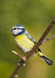 Bluetit (Parus caeruleus) Stock Photos
