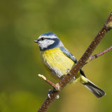 Bluetit (Parus caeruleus) Stock Photography