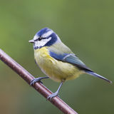 Bluetit (Parus caeruleus) Royalty Free Stock Photos