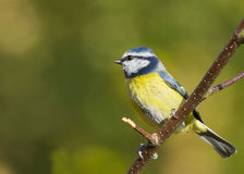 Bluetit (Parus caeruleus) Royalty Free Stock Images