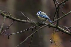 Bluetit Parus caeruleus. A bluetit is sitting on a branch Royalty Free Stock Image