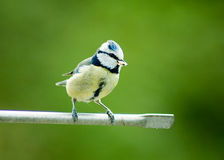 Bluetit Royalty Free Stock Photos