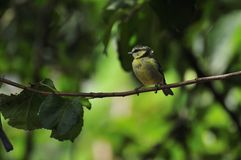 Bluetit perched on a branch. Stock Photo