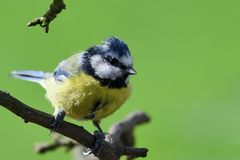 Bluetit perching on a branch. Portrait of a bluetit perched on a branch in the garden Royalty Free Stock Images
