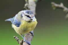 Bluetit perching on a branch. Portrait of a bluetit perched on a branch in the garden Stock Photo