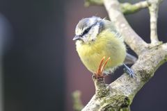 Bluetit perching on a branch. Portrait of a bluetit perched on a branch in the garden Royalty Free Stock Image