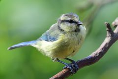 Bluetit perching on a branch. Portrait of a bluetit perched on a branch in the garden Stock Image