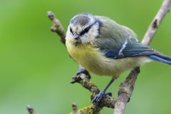 Bluetit perching on a branch. Portrait of a bluetit perched on a branch in the garden Stock Photos