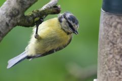Bluetit perching on a branch. Portrait of a bluetit perched on a branch while looking at a bird feeder Royalty Free Stock Photo
