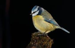 Bluetit ptak Fotografia Stock