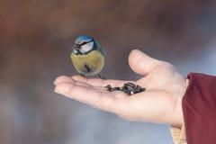 Bluetit que come sementes imagens de stock
