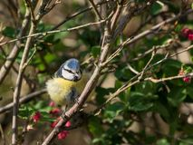 Bluetit in ribes Stock Images