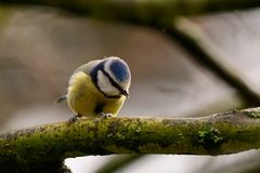 Bluetit sheltering from the rain. Portrait of a bluetit perched on a branch in the rain Stock Photo