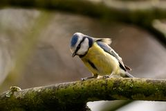 Bluetit sheltering from the rain. Portrait of a bluetit perched on a branch in the rain Royalty Free Stock Images