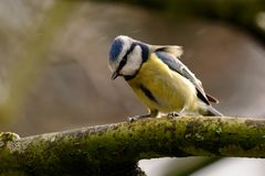Bluetit sheltering from the rain. Portrait of a bluetit perched on a branch in the rain Stock Images