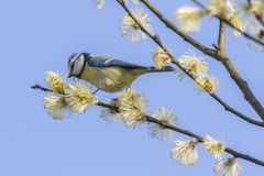 Bluetit Parus caeruleus. A bluetit is sitting on a branch Stock Images
