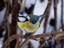 Bluetit on a twig Stock Photos