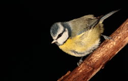 Bluetit. Royalty Free Stock Photo