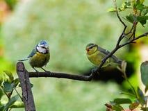 Bluetits auf einem Zweig lizenzfreie stockfotos
