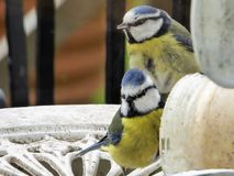 Bluetits at the peanut butter stock image