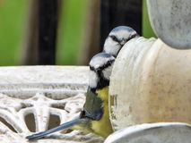 Bluetits at the peanut butter royalty free stock image