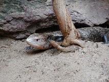 Bluetongue Skink Immagini Stock