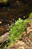 Bluets ή κουάκερες κυρίες (caerulea Houstonia) στοκ εικόνες